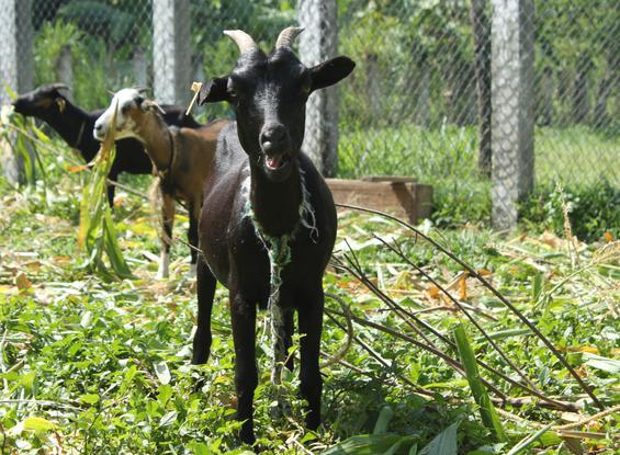 Global Health Action, which has been working in Haiti for more than 30 years, operates a goat farm that provides families with a pregnant goat with the goal of helping them grow a sustainable source of income.
